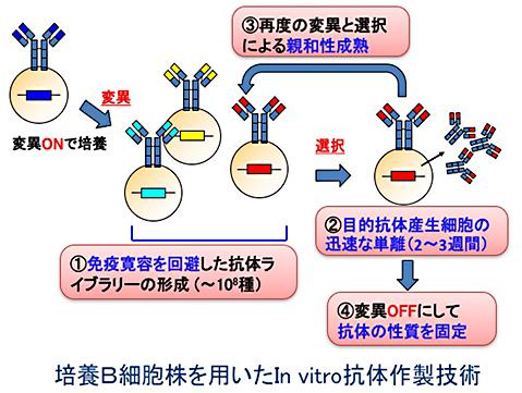in vivo抗体産生系を模倣したin vitro抗体作製技術の開発