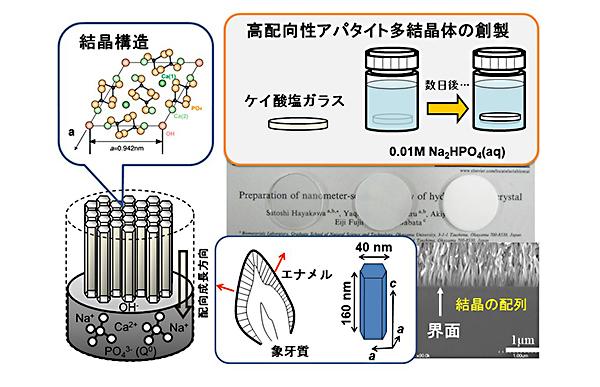 イオン置換型高配向性アパタイト多結晶体の創製