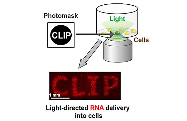 狙ったタイミングで、狙った細胞の中にRNAを届ける