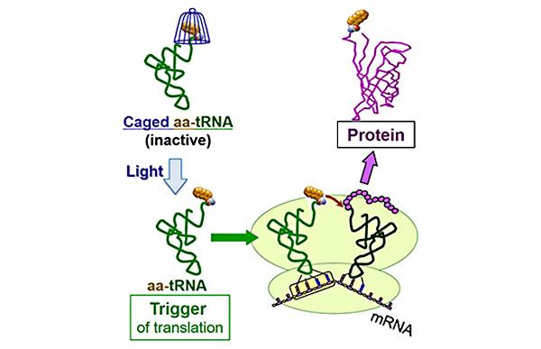 タンパク質合成を光で制御する新技術の開発