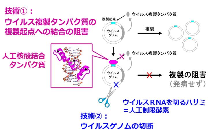 先導・ 革新的人工核酸結合タンパク質を用いたウイルス不活性化技術の確立と社会実装