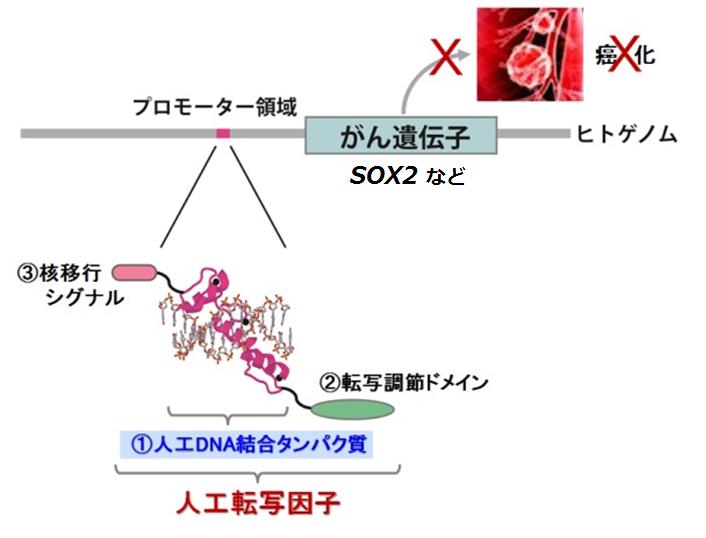 """遺伝子を操作する""""人工転写因子""""でがんの増殖を阻害"""