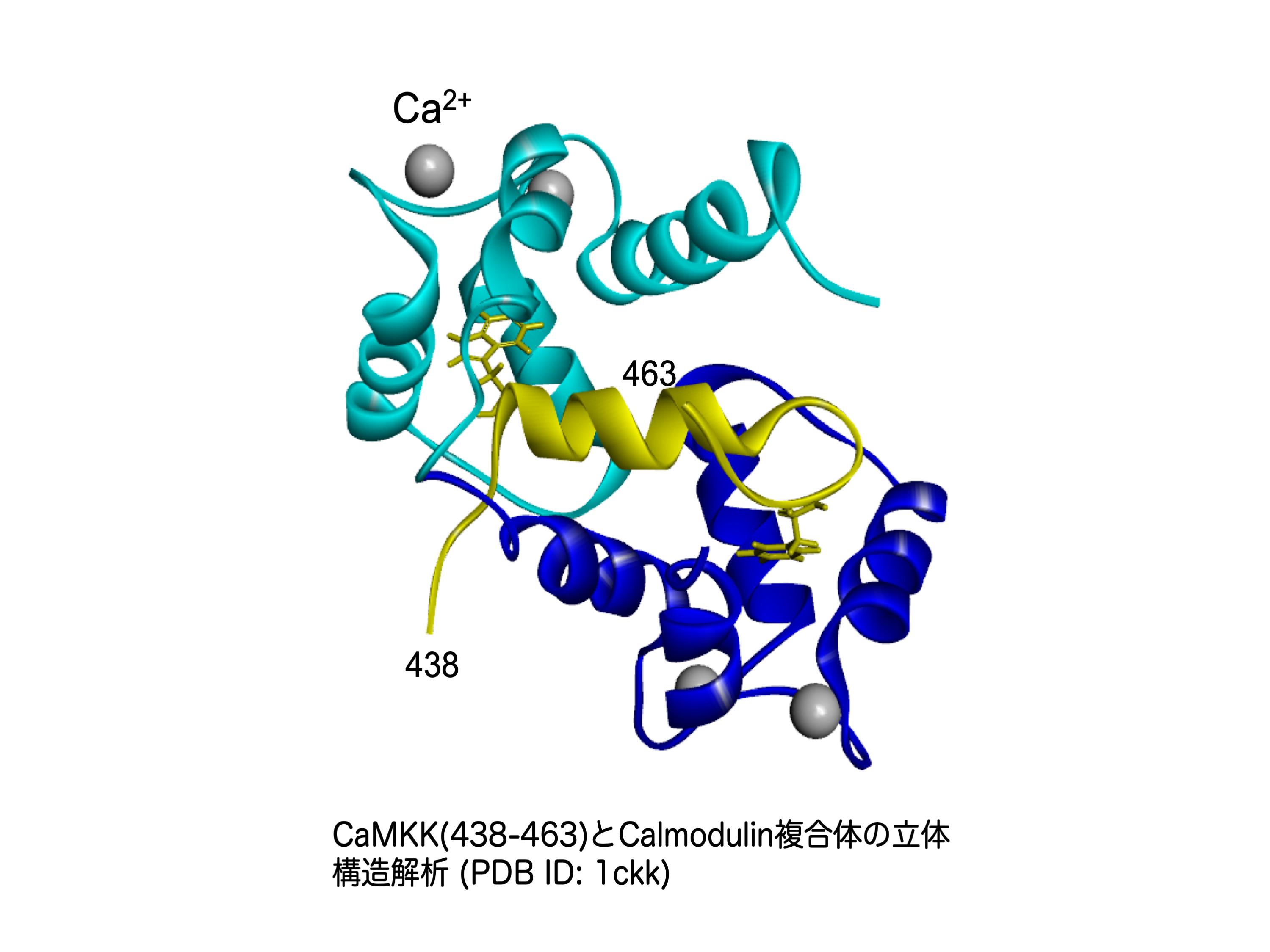 Calmodulin依存性タンパク質リン酸化酵素の構造と機能研究